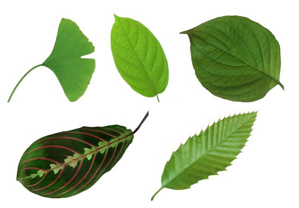 树叶的形状
